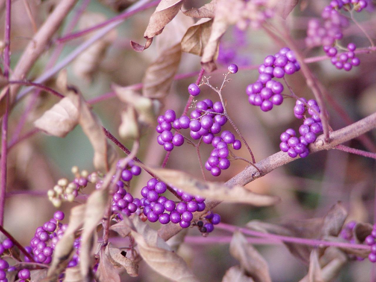 beauty-berries-631167_1280